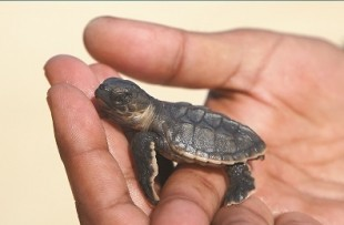 Oman_Wildlife_Animals_Turtle2
